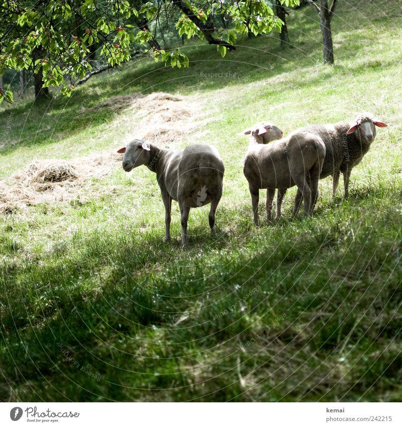 Kein Schaf verlässt die Herde Umwelt Natur Tier Sommer Schönes Wetter Pflanze Baum Gras Wiese Weide Nutztier Tiergesicht Fell Schafherde 3 Tiergruppe Blick