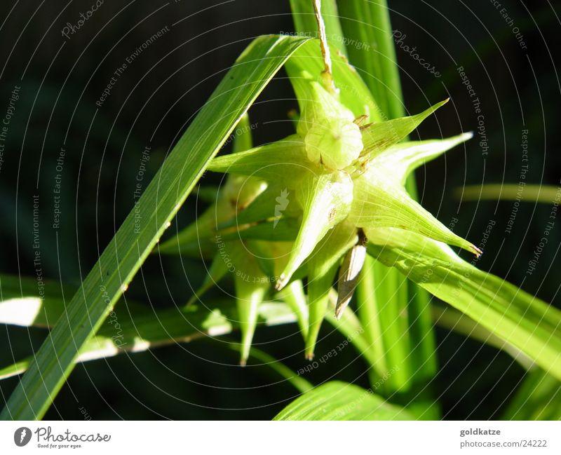 grüner stern Pflanze Blatt Garten Blüte Park natürlich Stern (Symbol) außergewöhnlich Spitze exotisch stachelig Grünpflanze Abendsonne Natur