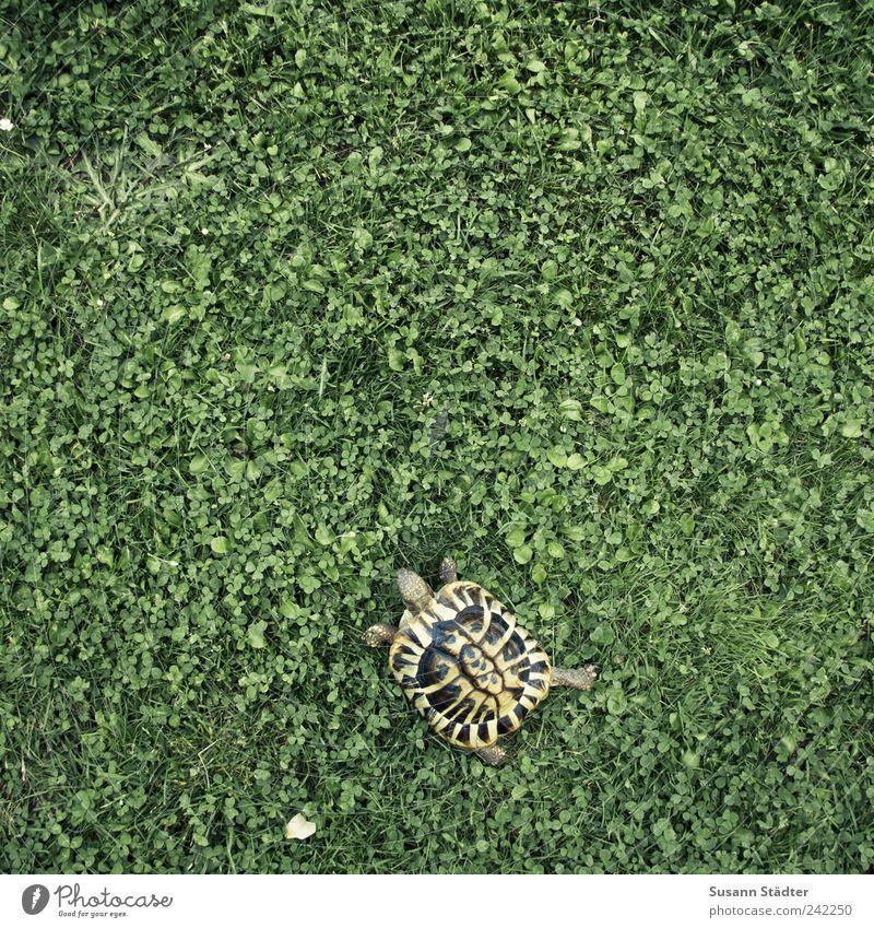 Karli und der Klee Tier Wiese Freiheit Garten Erde Zoo Jagd Fressen Haustier Schildkröte Kleeblatt ausgehen Panzer auslaufen Tierjunges