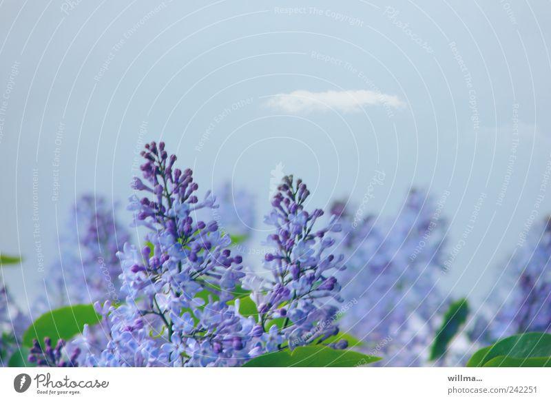 duftwölkchen Natur blau Pflanze Blatt Blüte Frühling violett Blühend Duft Schönes Wetter Fliederbusch