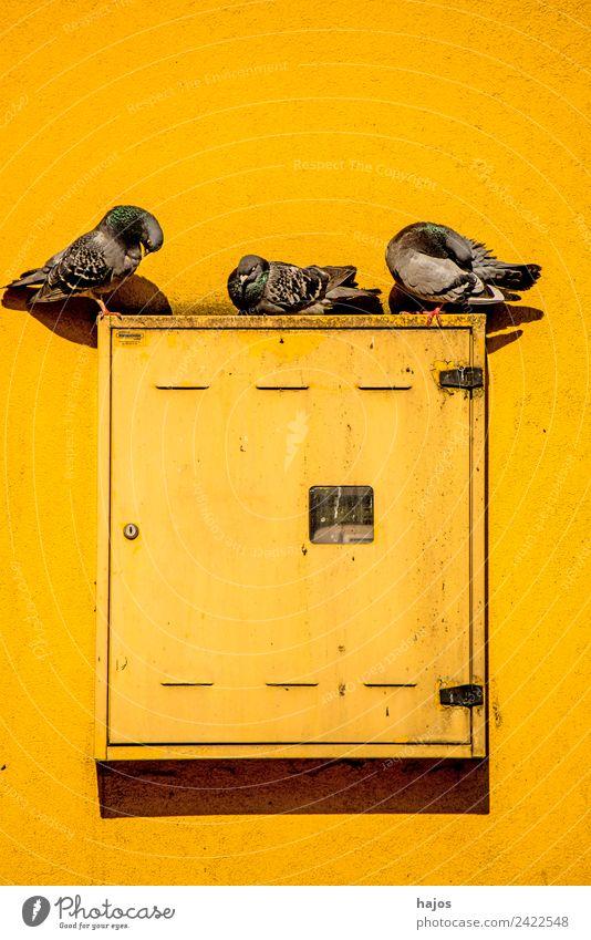 Tauben auf einem Schaltkasten an einem Haus Sommer schön Tier gelb Vogel Wildtier einzigartig Zeichen Stillleben