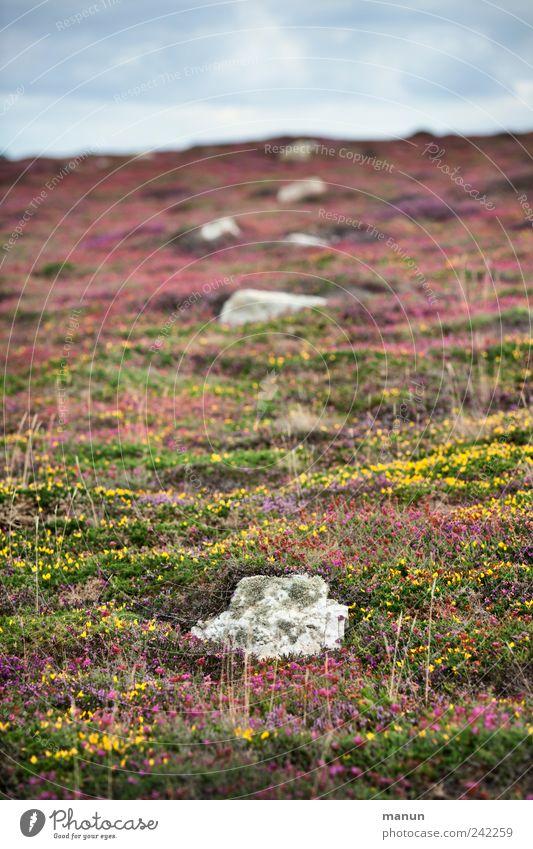 Flickenteppich Natur Landschaft Sommer Pflanze Gras Sträucher Moos Blatt Blüte Wildpflanze Wiese Hügel Felsen Heide Heidekrautgewächse Ginster steinig Bretagne