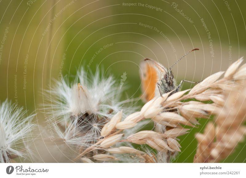 gut getarnt und doch entdeckt Natur Pflanze Sommer Tier Erholung Gras Feld warten klein Umwelt sitzen Getreide Schmetterling Löwenzahn Wildtier verstecken