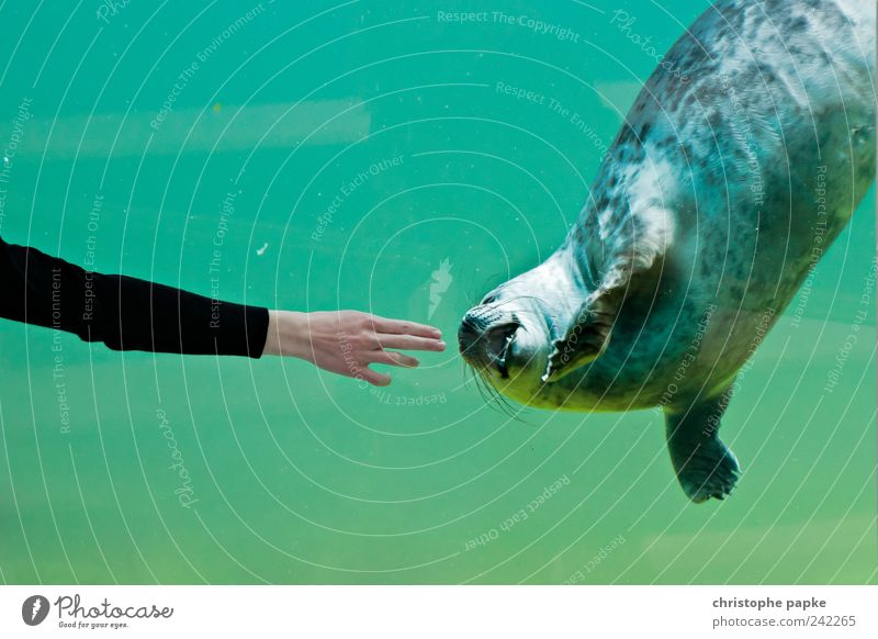Give me two fingers Tier Schwimmen & Baden niedlich berühren tauchen Zoo Aquarium Seehund Streicheln spielend folgend zutraulich Frauenhand