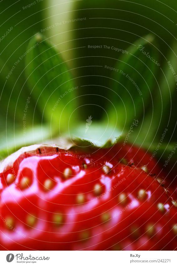 Zum anbeißen :) Natur grün Sommer Pflanze rot Garten Frucht Lebensmittel Ernährung süß genießen lecker Beeren Picknick saftig Erdbeeren