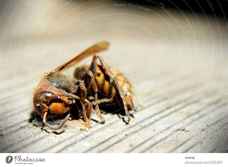 Hier bleibe ich Natur Tier Wildtier Totes Tier Flügel Hornissen Tote Hornisse 1 liegen Ekel nah natürlich trist gelb grau schwarz Tod Einsamkeit Ende