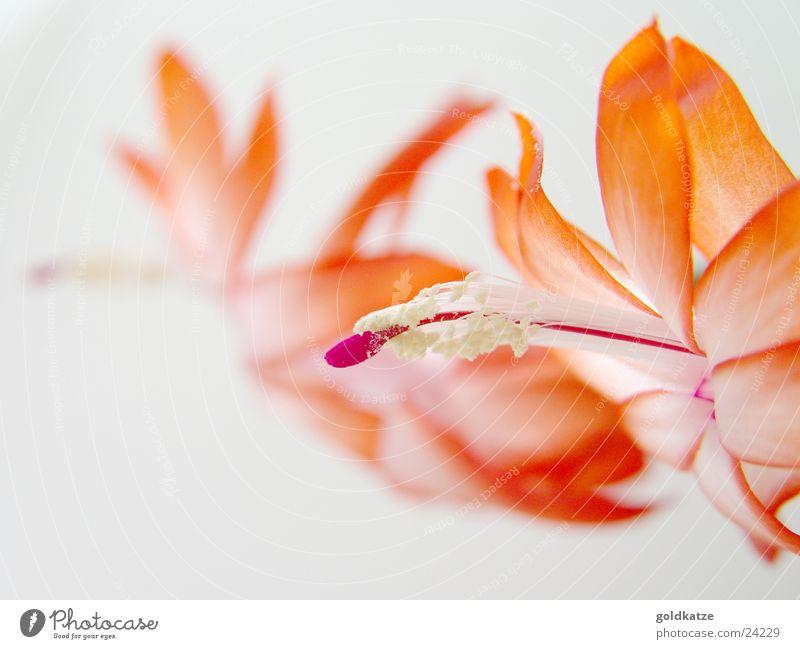kaktusblüte Natur schön rot Pflanze Winter Farbe Umwelt Blüte Frühling rosa natürlich authentisch Wellness Wüste zart Blühend