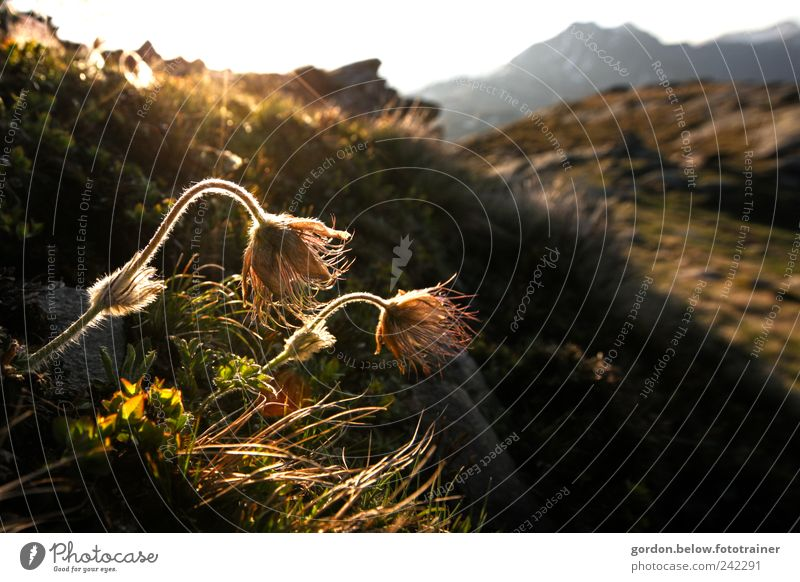 Bergblume Sommer Berge u. Gebirge Umwelt Natur Landschaft Himmel Wolkenloser Himmel Sonne Sonnenlicht Pflanze Blume Gras Moos Blüte Grünpflanze Hügel Felsen