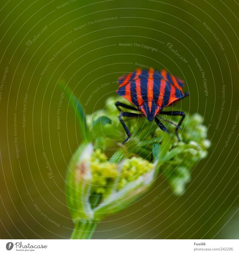 Streifenwanze schön grün Pflanze rot Sommer Freude ruhig schwarz Einsamkeit Tier Wiese Bewegung Feld frei rund außergewöhnlich
