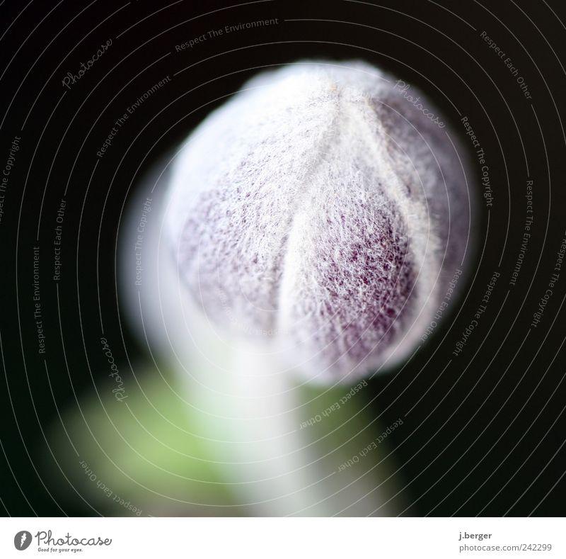 seltsame behaarte pflanze Pflanze Blüte exotisch Wachstum ästhetisch außergewöhnlich grün weiß haarig weich flauschig Kugel Kapsel Gedeckte Farben Außenaufnahme