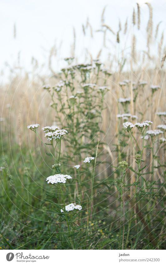 randgruppe. Landwirtschaft Forstwirtschaft Umwelt Natur Landschaft Pflanze Sommer Gras Wildpflanze Feld grün weiß sparsam Vergänglichkeit Wachstum