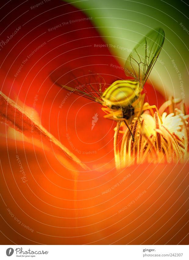 Mit mehr PS ins Ziel Umwelt Natur Pflanze Tier Sommer Schönes Wetter Blüte Insekt grün rot Schwebfliege Flügel fein Stempel Nektar saugen Fortpflanzung zart