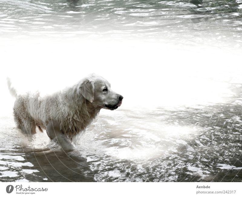 Hundeleben Natur Wasser Sommer Schönes Wetter Flussufer Tier Haustier 1 Schwimmen & Baden kühlen Fell nass heiß Schwarzweißfoto Außenaufnahme Menschenleer