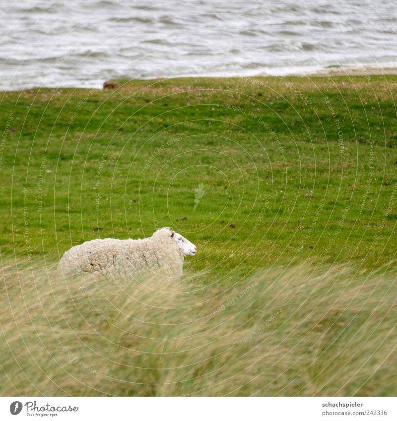 Sturmschaf Natur Wasser weiß grün Einsamkeit Tier Gras Landschaft Küste Wind Schaf Nordsee Nutztier Salzwiese