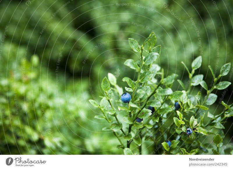 Blaubeeren Lebensmittel Frucht Dessert Bioprodukte Vegetarische Ernährung Natur Pflanze Wildpflanze entdecken Wachstum lecker natürlich süß blau grün rein