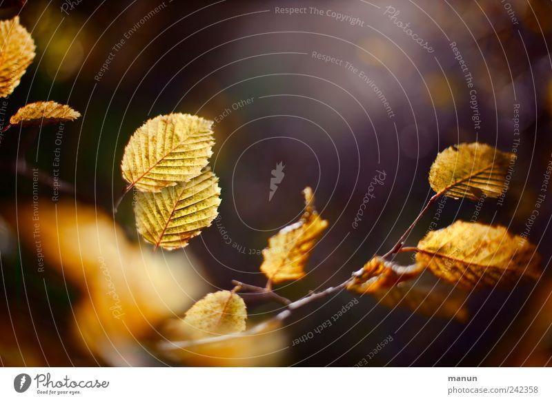 Gelber Herbst Natur schön Baum Blatt braun gold authentisch natürlich Herbstlaub Zweige u. Äste herbstlich Herbstfärbung