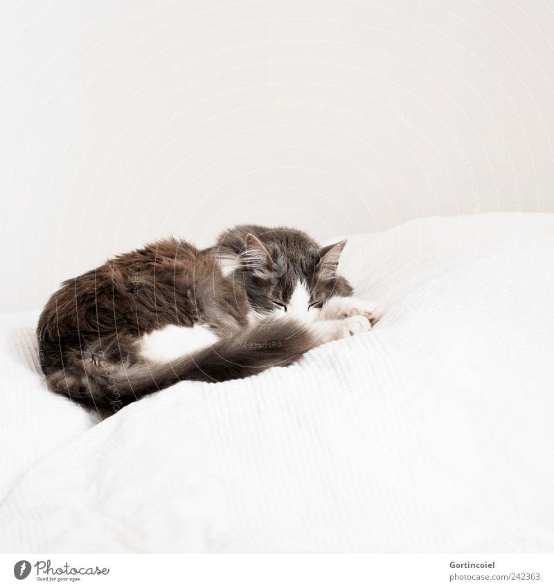 Schlaf schön weiß ruhig Tier grau Katze hell schlafen Bett Tiergesicht liegen Fell Pfote Geborgenheit Haustier Schwanz langhaarig