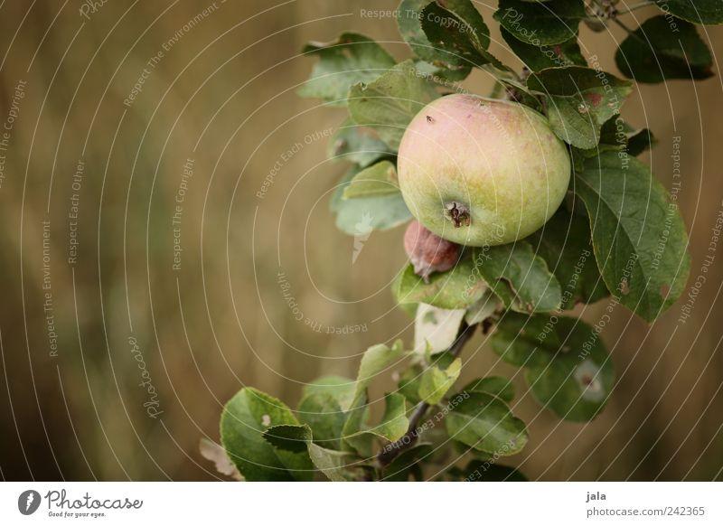apfel Lebensmittel Frucht Apfel Ernährung Bioprodukte Vegetarische Ernährung Natur Pflanze Baum Gras Nutzpflanze lecker natürlich gold grün Farbfoto