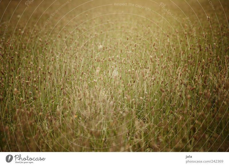 wiese Natur schön Blume grün Pflanze Wiese Gras gold Wildpflanze