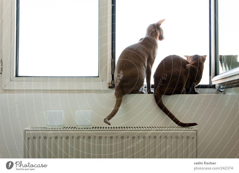 sehnsucht weiß Tier Ferne Wand Fenster Mauer Katze Denken braun Zusammensein Metall warten Tierpaar Glas sitzen Hoffnung