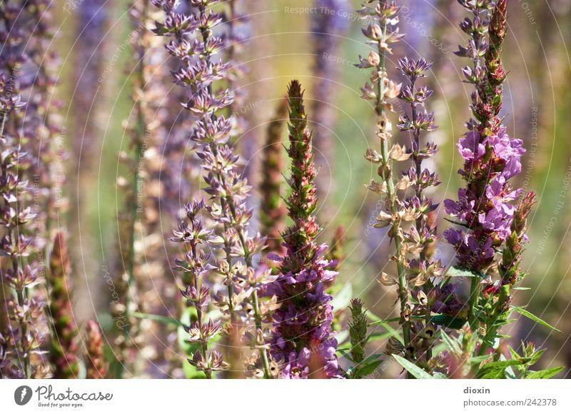 Lythrum salicaria [2] Umwelt Natur Pflanze Sommer Blume Blatt Blüte Wildpflanze gewöhnlicher blutweiderich Stauden Garten Park Blühend Wachstum Duft natürlich