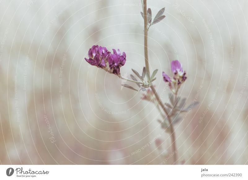 purple haze Natur Blume grün Pflanze Blatt Wiese Blüte hell ästhetisch violett beige Wildpflanze