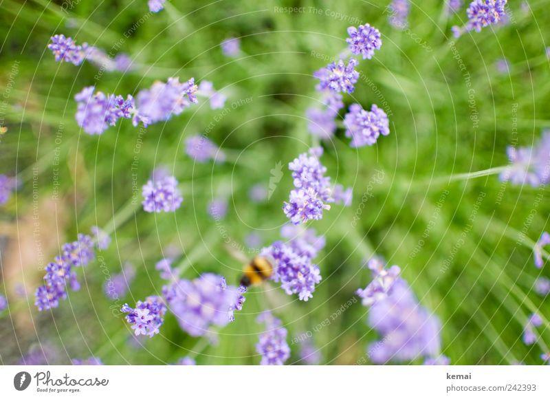 Abflug Umwelt Natur Pflanze Tier Sonnenlicht Sommer Gras Blüte Grünpflanze Wildpflanze Lavendel Wiese Biene Hummel Insekt 1 Blühend fliegen Wachstum grün