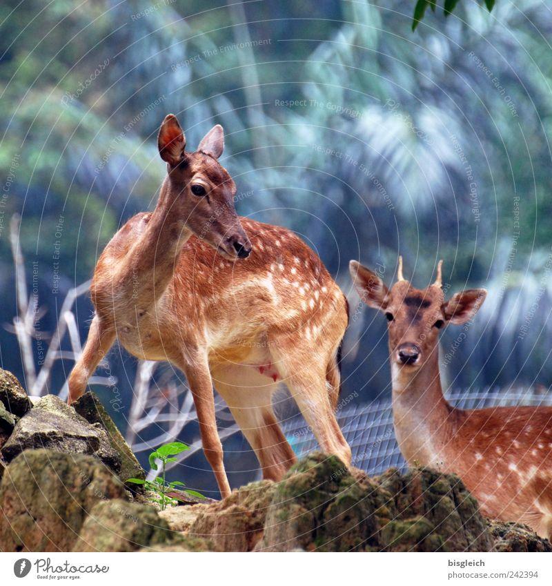 Bambis Eltern Tier Wildtier Reh 2 Tierpaar braun Farbfoto Außenaufnahme Menschenleer Licht Schwache Tiefenschärfe Tierporträt Blick Blick in die Kamera
