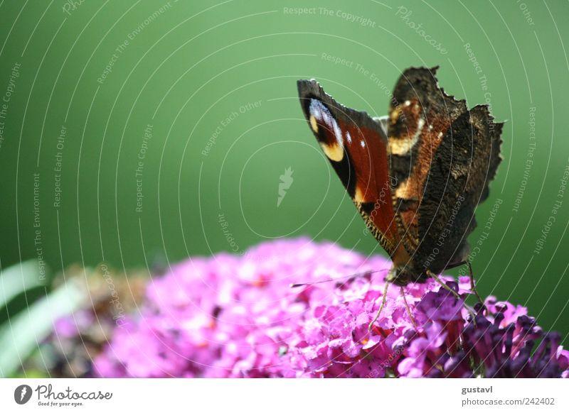 Farbenfrohe Natur blau schön Pflanze rot Sommer Tier Umwelt Blüte braun elegant natürlich ästhetisch Flügel Schmetterling Schönes Wetter