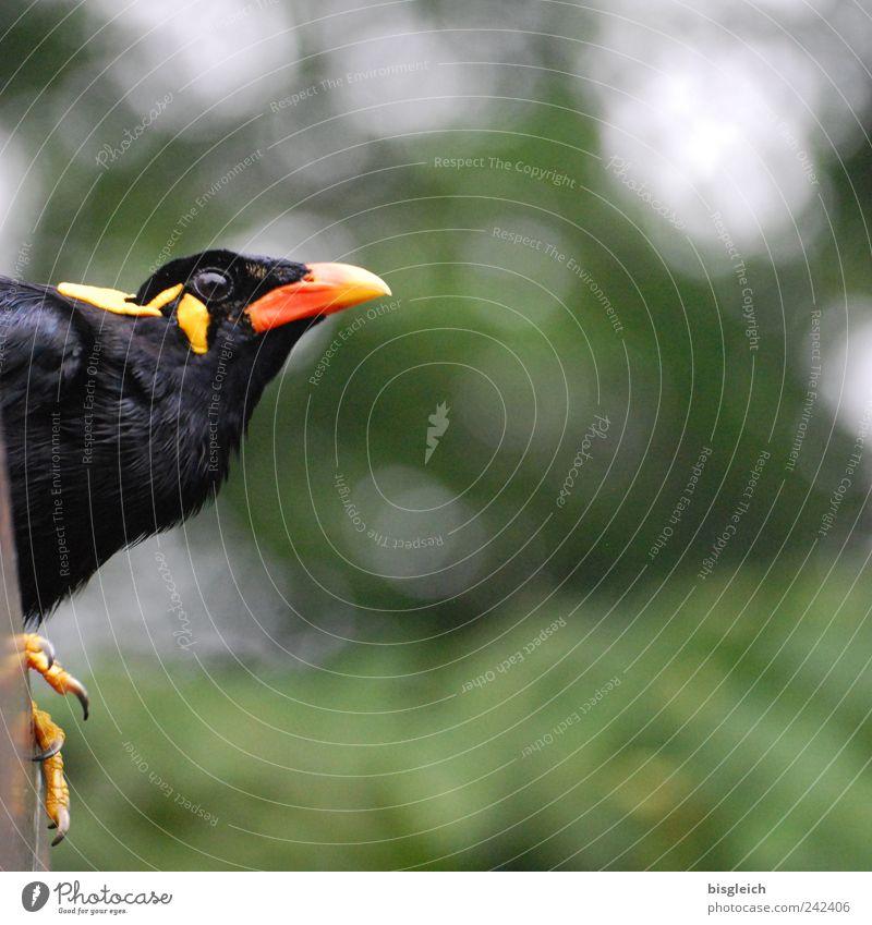 Kuala Lumpur Bird Park II grün rot schwarz Auge Tier gelb Vogel Feder Tiergesicht Wachsamkeit Schnabel Krallen