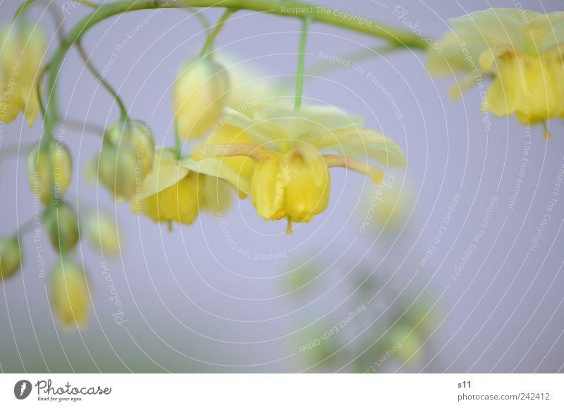 GoldGlöckchen Natur alt grün schön Pflanze Sommer Blume ruhig gelb Garten Blüte hell Park gold elegant natürlich
