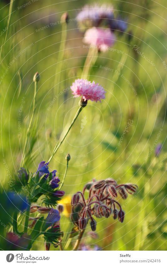 Wiesenblumen Kornblume Blumenwiese Wildpflanzen natürlich sommerlich Sommerblumen Blühend frisch Duft Sommergefühl Juli hellgrün Warme Farbe idyllisch