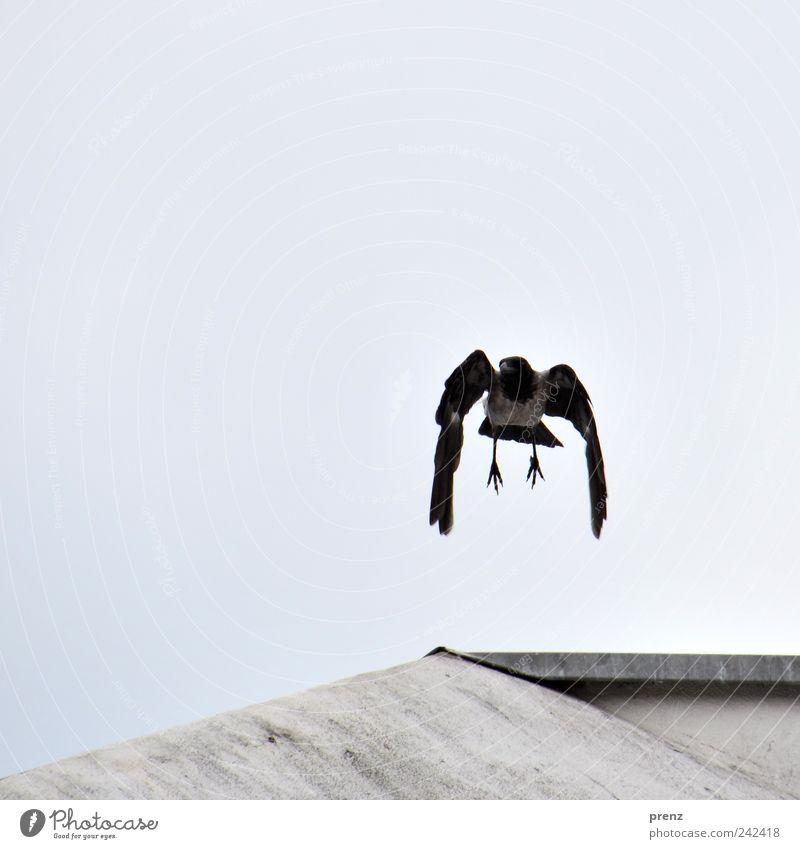 Krähe Himmel Natur blau Tier schwarz grau fliegen Vogel Wildtier Feder Flügel Beton Dach Krallen hängend