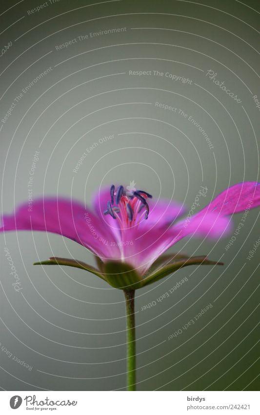 Storchschnabel Pflanze Sommer Blume Wildpflanze Duft leuchten ästhetisch schön violett rosa Reinheit Natur Blütenstempel Blütenstiel Blütenblatt Pollen Blühend