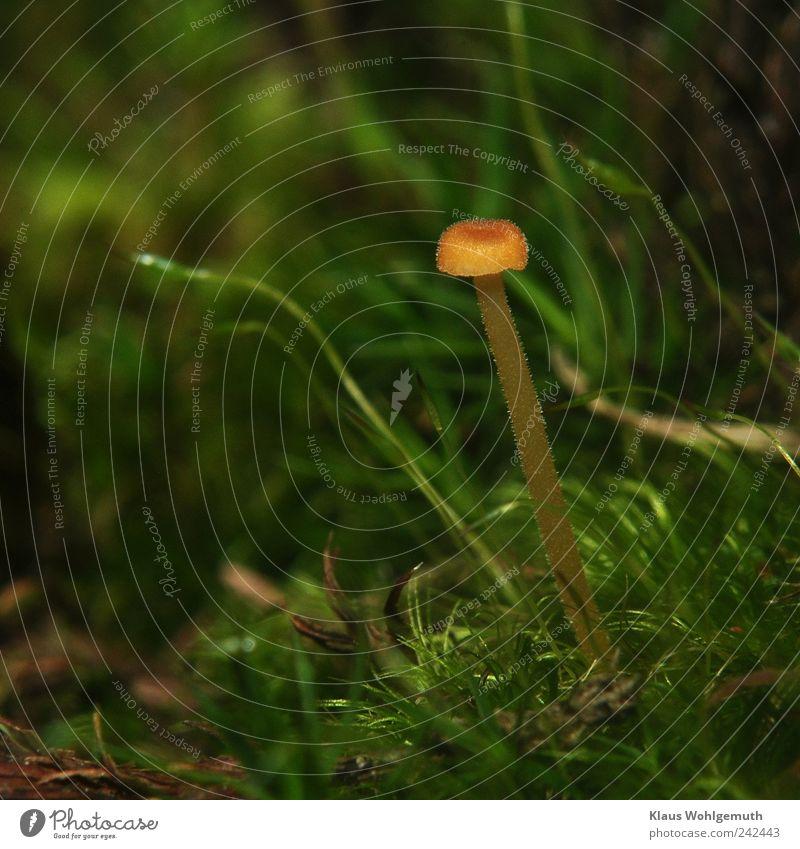 Einzelgänger Expedition Sommer Umwelt Natur Herbst Pflanze Moos Pilz Pilzhut Pilzstiel Urwald stehen Wachstum braun gelb grün schwarz verborgen winzig Winzling