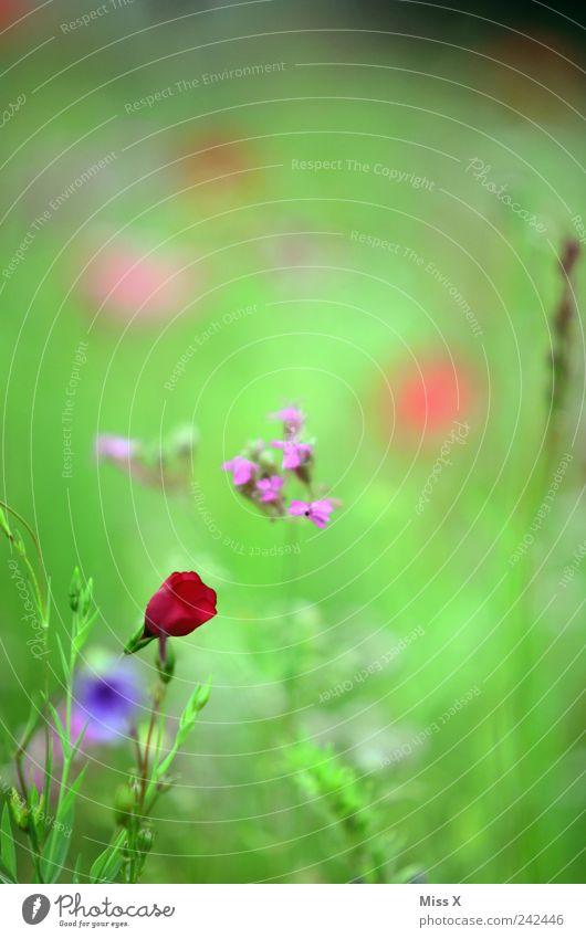 Roter Fleck Natur Pflanze Frühling Sommer Blume Blatt Blüte Wiese Blühend Duft Wachstum wild rot Blumenwiese Farbfoto mehrfarbig Nahaufnahme Menschenleer