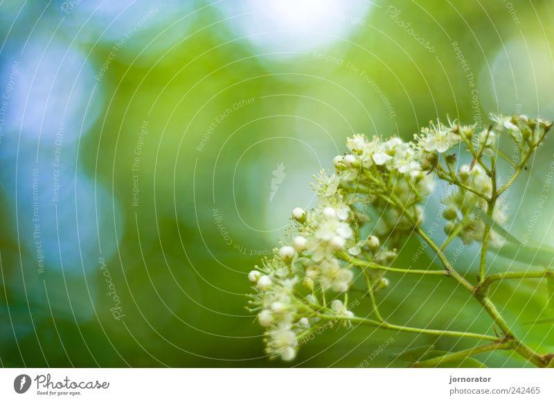 Linden in Linden Natur Pflanze Baum Blüte Blühend Duft Fröhlichkeit frisch blau gelb grün Frühlingsgefühle Farbfoto Außenaufnahme Textfreiraum links