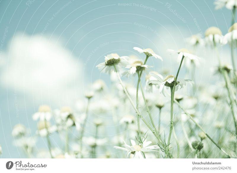 Wilde Kamille Umwelt Natur Pflanze Frühling Sommer Schönes Wetter Blume Blüte Nutzpflanze Wildpflanze Kamillenblüten Garten Wiese hell blau weiß