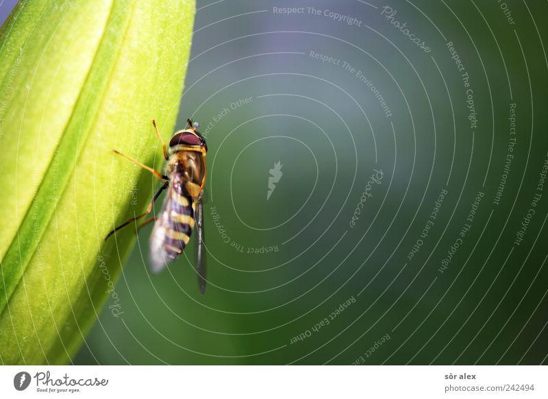 grip Pflanze Blume Blatt Blüte Tier Flügel Fliege Schwebfliege 1 braun gelb grün Insekt Tiergesicht Auge Tierporträt Tierfuß sommerlich festhalten Pause
