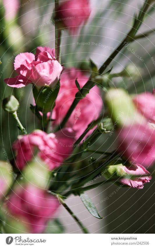 pink Häusliches Leben Dekoration & Verzierung Pflanze Blume Blüte Nelkengewächse Blumenstrauß Blühend Duft frisch natürlich grün rosa Farbfoto Nahaufnahme