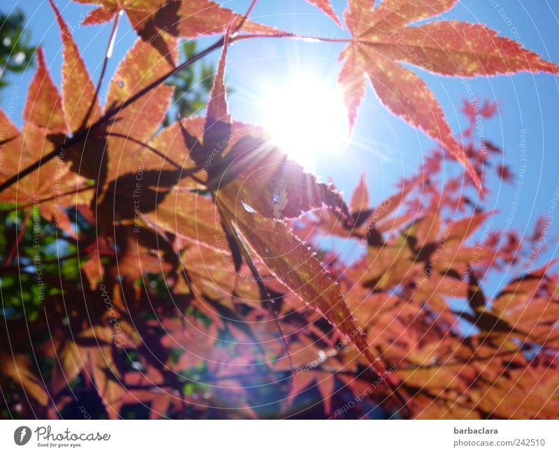 Feuriger Ahorn Freizeit & Hobby Spaziergang Sommer Sonne Natur Himmel Schönes Wetter Baum Blatt leuchten ästhetisch hell Neugier Wärme blau braun grün rot