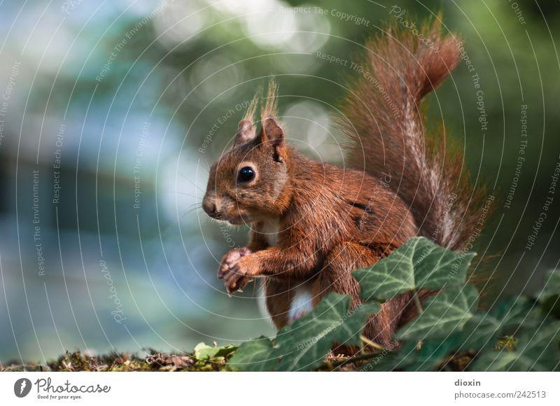 pose 4 nuts Natur Baum Efeu Tier Wildtier Fell Krallen Pfote Eichhörnchen 1 hocken Blick sitzen niedlich Farbfoto Außenaufnahme Nahaufnahme Menschenleer