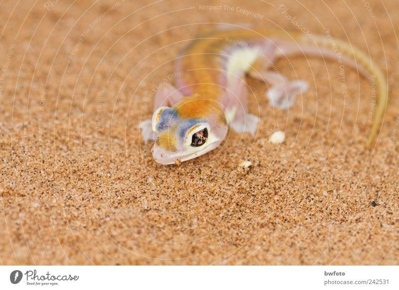 Wüstengecko - Pachydactylus rangei Natur blau schön weiß Tier Ferne Umwelt gelb außergewöhnlich Sand Freizeit & Hobby Nebel Erde Wildtier beobachten dünn