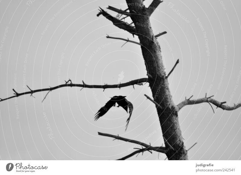 Weststrand Umwelt Natur Landschaft Pflanze Tier Baum Darß Wildtier Vogel Kolkrabe 1 fliegen dehydrieren dunkel gruselig natürlich wild Stimmung Tod