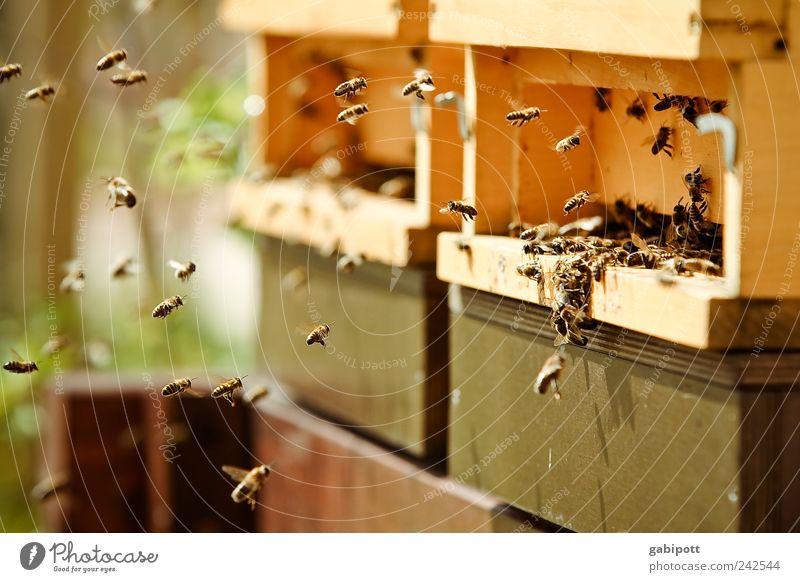 Ohne Fleiß kein Preis Natur grün Sommer Tier Umwelt braun Arbeit & Erwerbstätigkeit Zusammensein fliegen wild Tiergruppe Biene Lebensfreude Duft Schönes Wetter Zusammenhalt