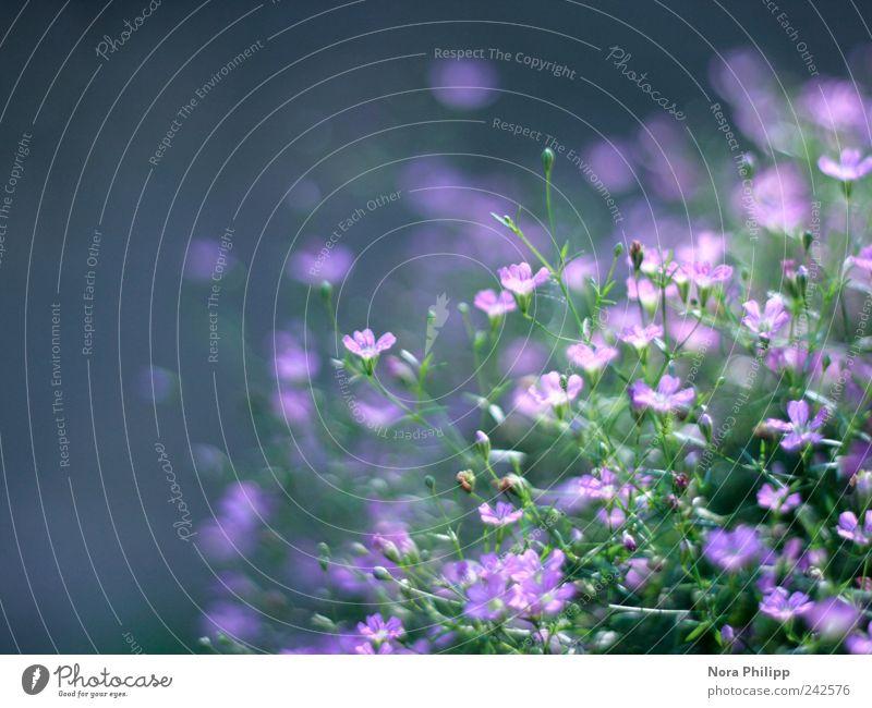 Schleierkraut im Sonnenschein Natur Pflanze Sommer Blume Blatt ruhig Erholung Umwelt Garten Blüte träumen leuchten zart beobachten Idylle Blühend