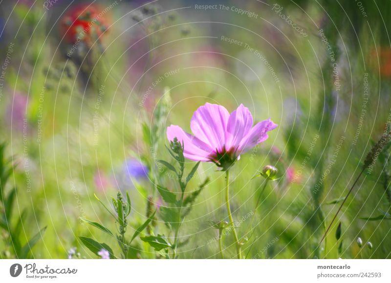 Verschleiert Natur Pflanze Sonnenlicht Sommer Schönes Wetter Blume Gras Sträucher Blatt Blüte Grünpflanze Park Wiese Farbfoto mehrfarbig Außenaufnahme