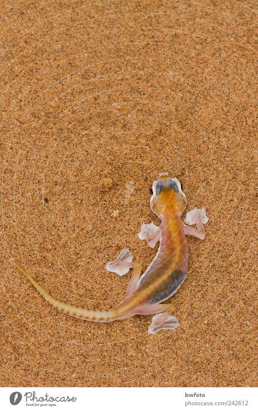 Pachydactylus rangei Natur Ferien & Urlaub & Reisen Tier Ferne Umwelt Sand Tourismus Erde Wildtier Wüste Kalender Umweltschutz exotisch Umweltverschmutzung