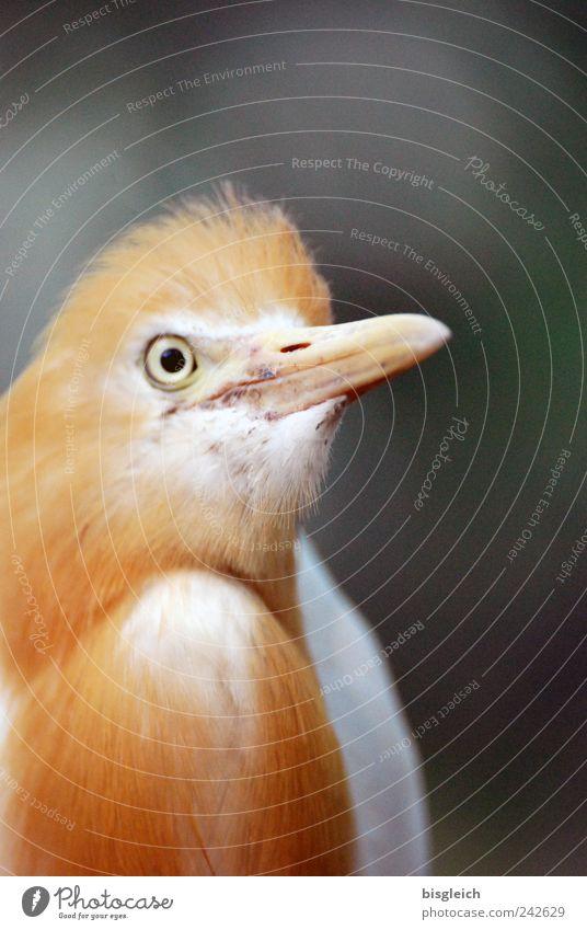 Kuala Lumpur Bird Park III Vogel Tiergesicht Auge Schnabel Feder 1 gold Farbfoto Außenaufnahme Menschenleer Schwache Tiefenschärfe Tierporträt