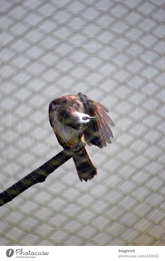 Kuala Lumpur Bird Park IV Vogel Flügel 1 Tier braun Schnabel Auge Schwanz Ast Gitter Gitternetz Farbfoto Außenaufnahme Menschenleer Textfreiraum oben